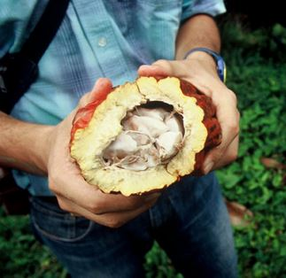 Agricultural advisor in Colombia splits open a fruit to expose cacao seeds, used to make chocolate. Photo: Scott Wallace / World Bank.