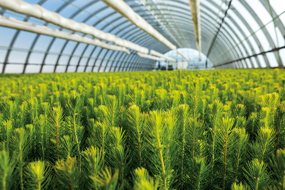 Sustainable forest management is the core of SCA's operations. In the Bogrundet forest nursery north of Sundsvall, it produces more than 100 million new trees per annum.